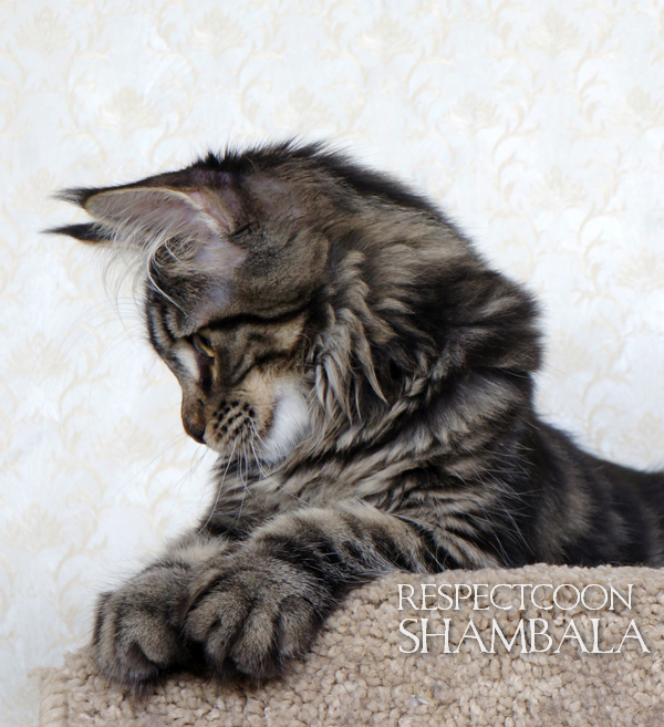 Respectcoon Shambala