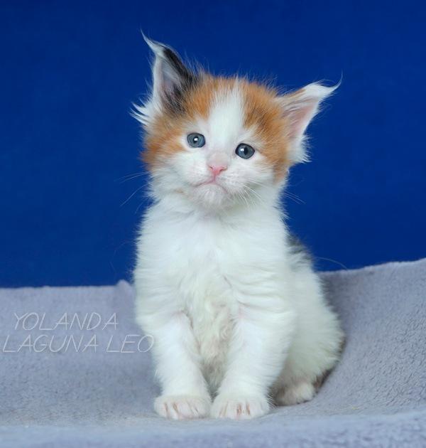 Кошка мейн кун Yolanda Laguna Leo