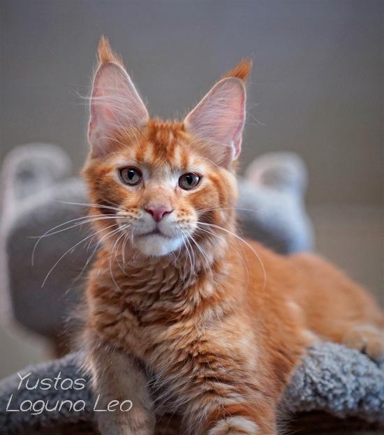 Котёнок мейн кун Yustas Laguna Leo