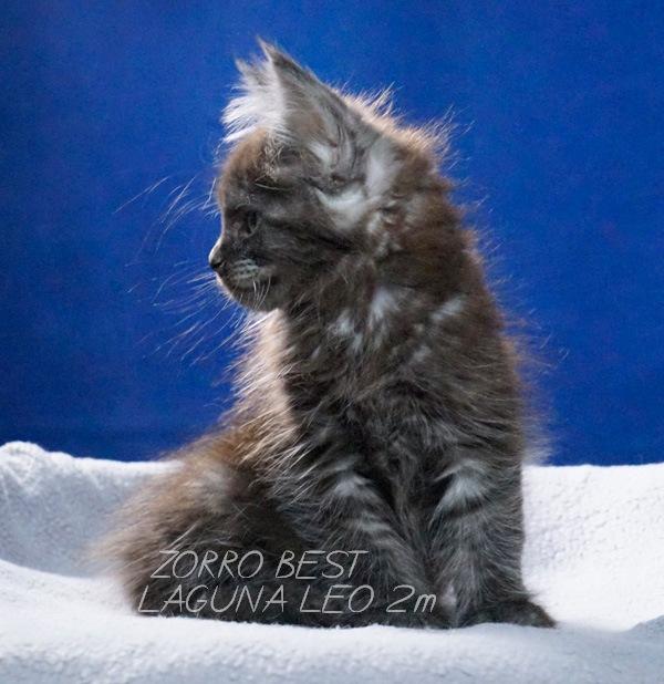 Кот мейн кун Zorro Laguna Leo