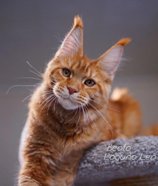 Котёнок мейн кун Beata Laguna Leo