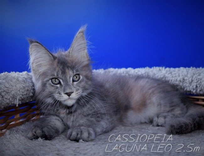 Кошечка мейнкун Cassiopeia Laguna Leo