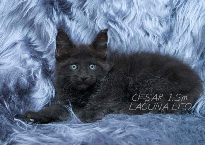 Котёнок мейн кун Cesar Laguna Leo