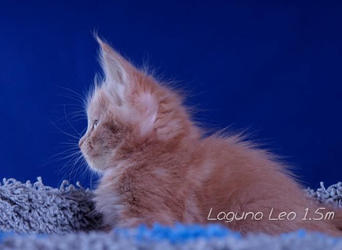Кошечка мейнкун Laguna Leo