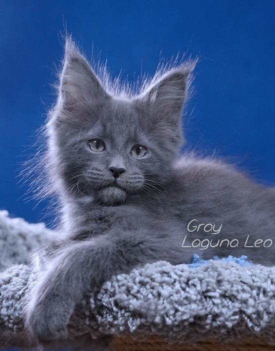 котята мейн кун месяц Laguna Leo