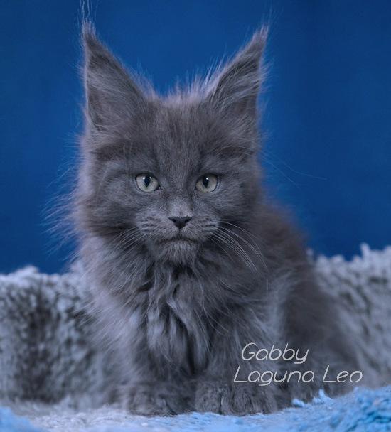 котята мейн кун в москве Laguna Leo