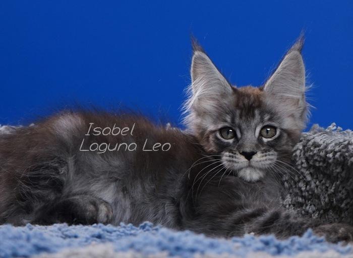мейн кун мальчик Laguna Leo