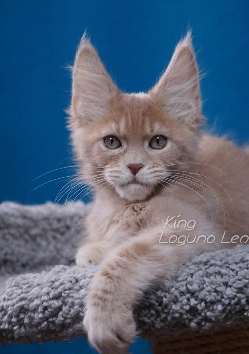 мейн кун котята какие Laguna Leo