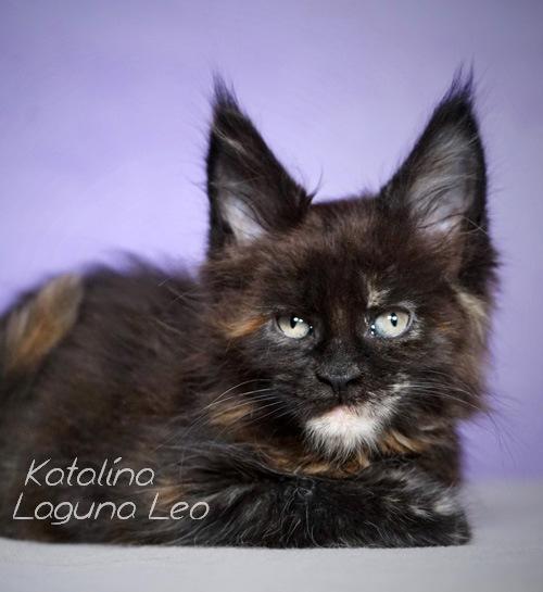 мейн кун описание характера Laguna Leo