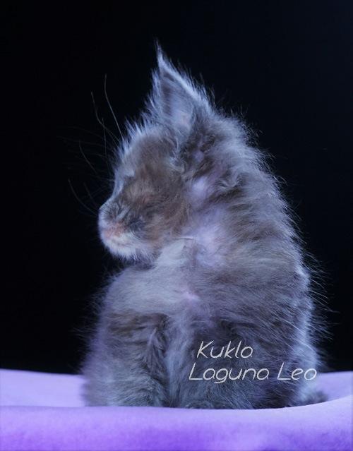 порода мейн кун фото цена Laguna Leo