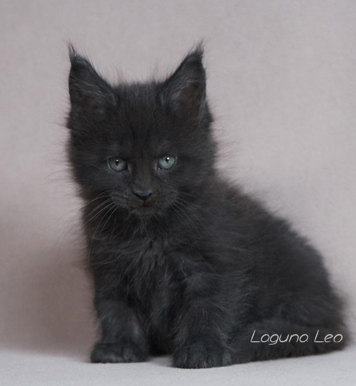 мейн кун фото взрослых котов Laguna Leo