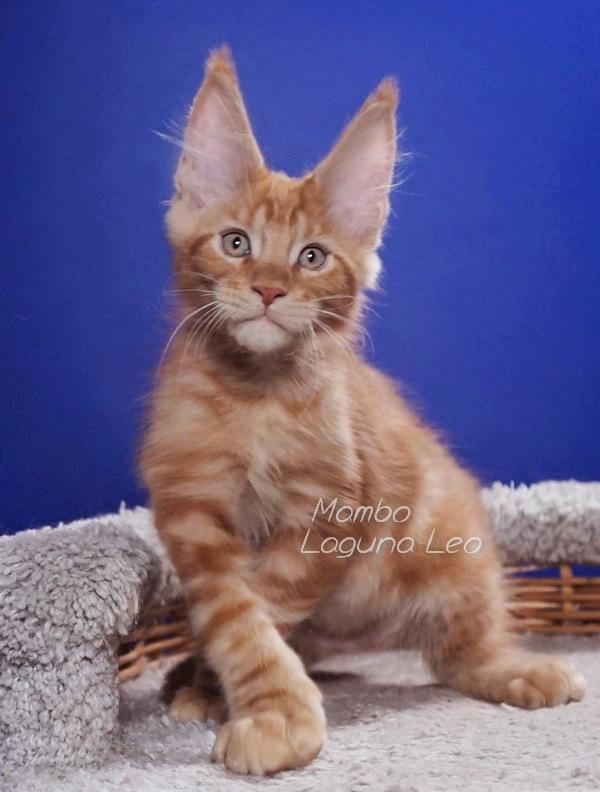 корм для кошек мейн кун Laguna Leo