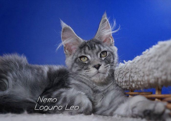 порода мейн кун отзывы Laguna Leo