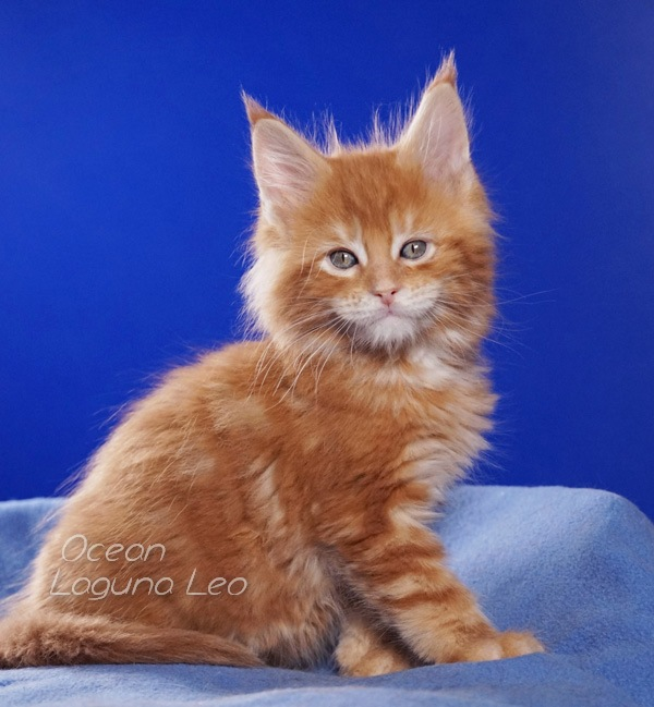 мейн кун кошки характер Laguna Leo