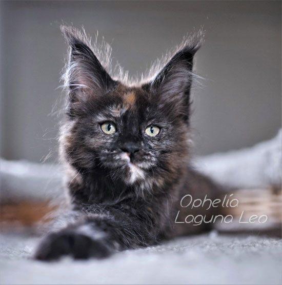 мейн кун вес кота Laguna Leo