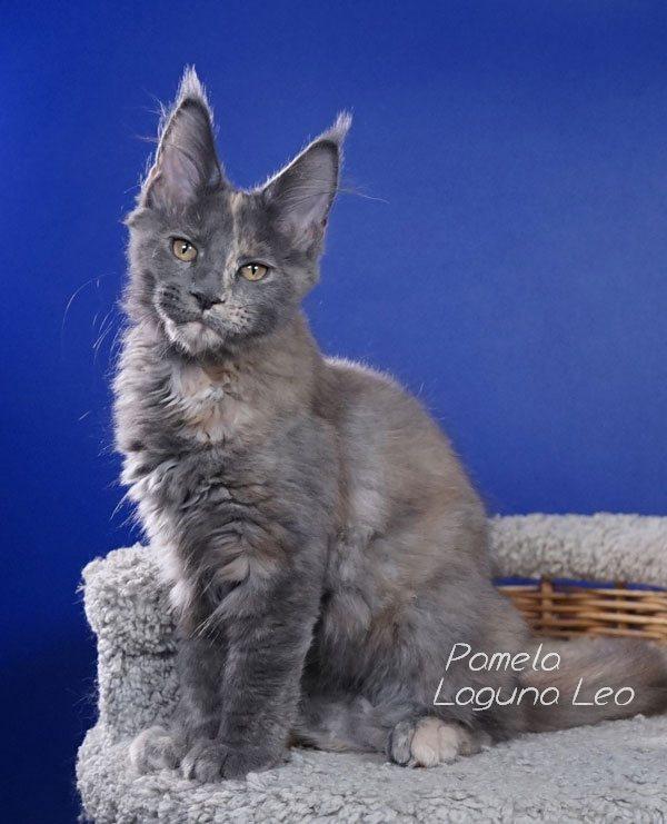 мейн кун кошки вес Laguna Leo