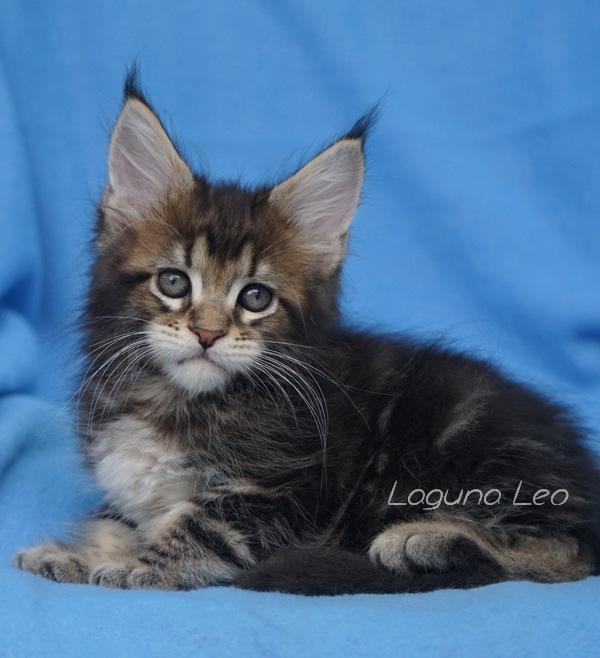 питомник кошек мейн кун Laguna Leo