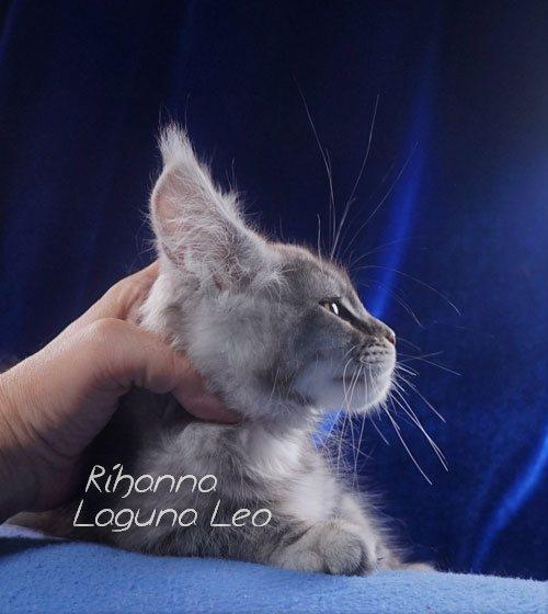 мейн кун в хорошие руки Laguna Leo