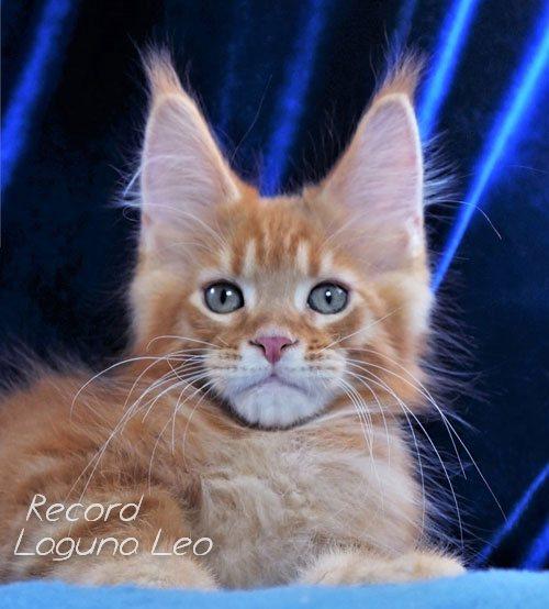 мейн кун характер и повадки Laguna Leo