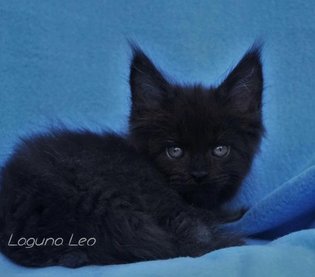 каким кормом кормить мейн куна котенка Laguna Leo