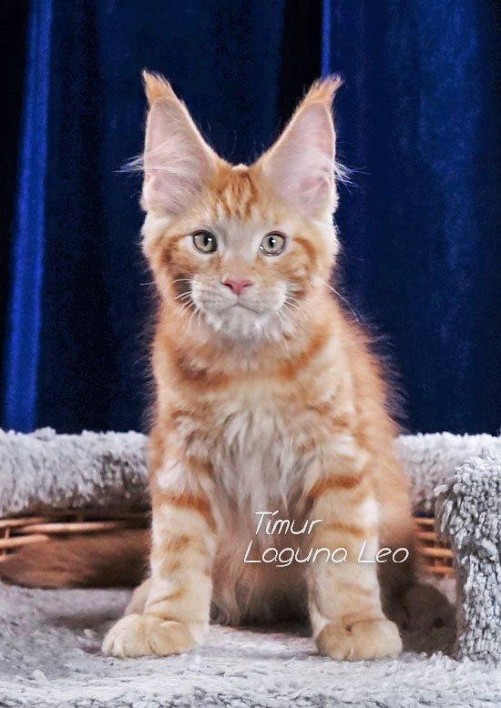 авито кот мейн кун Laguna Leo