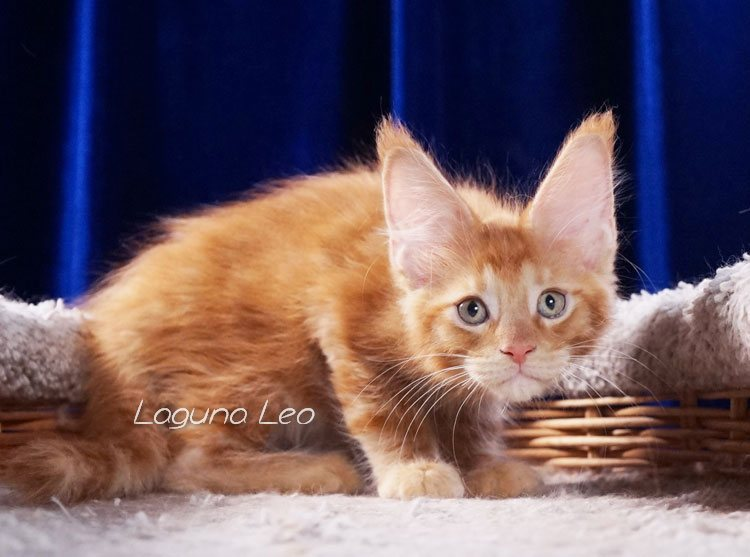 мейн кун черный мрамор фото Laguna Leo