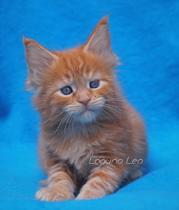 котята мейн кун новосибирск Laguna Leo